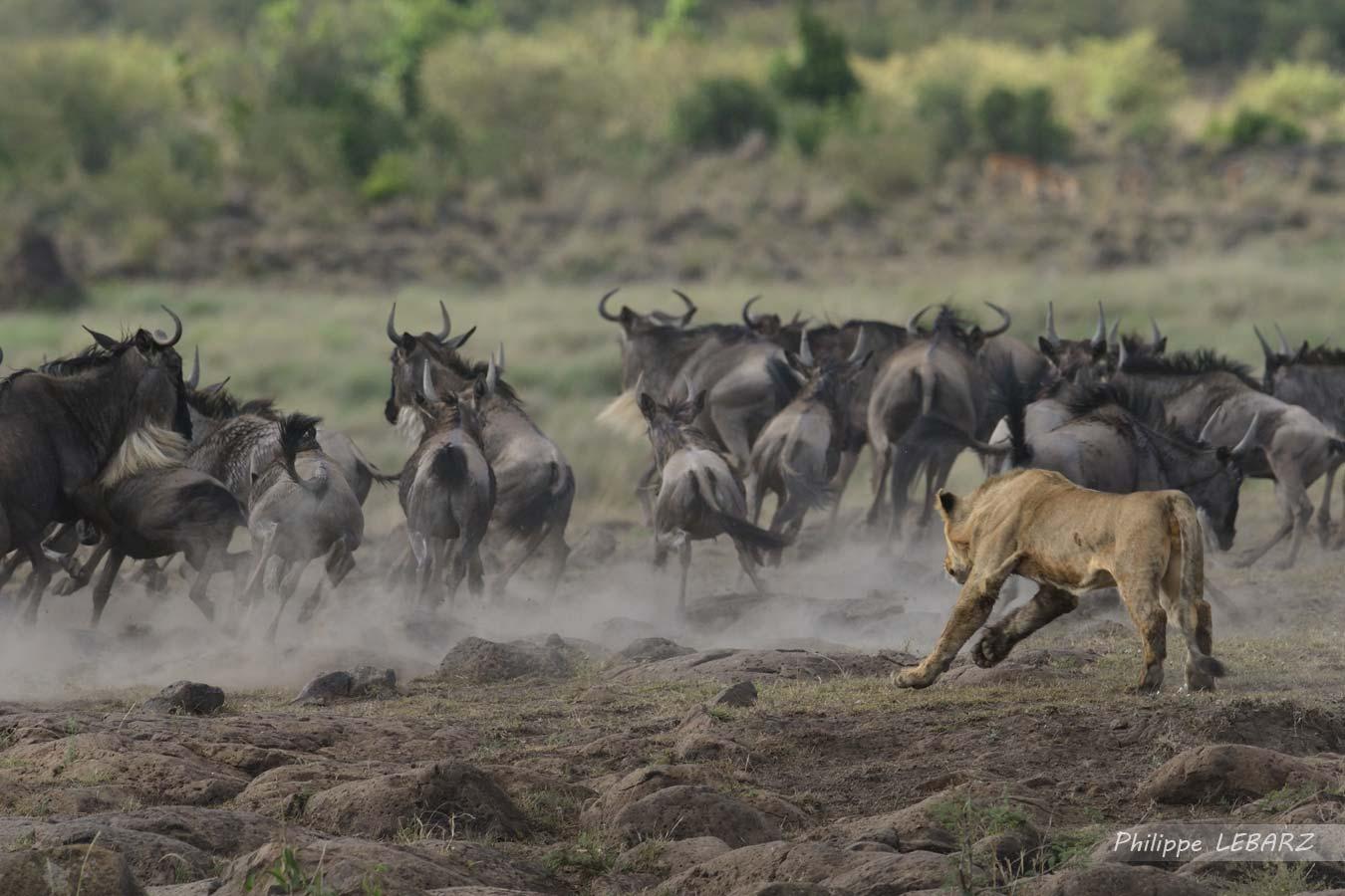 Lion en plaine chasse - Plaine du Masai-Mara - Kenya