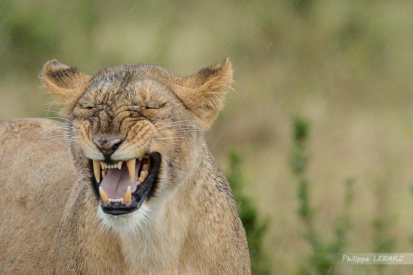 Lionne - Plaine du Masai-Mara - Kenya