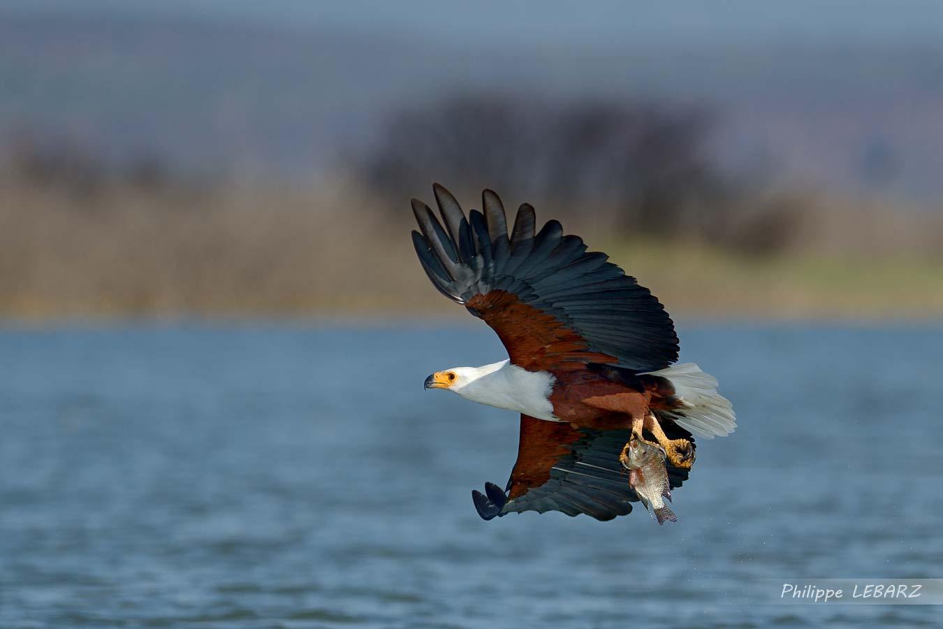Pygargue vocifère (souvent appelé Aigle pécheur) au bord du lac Baringo - Kenya