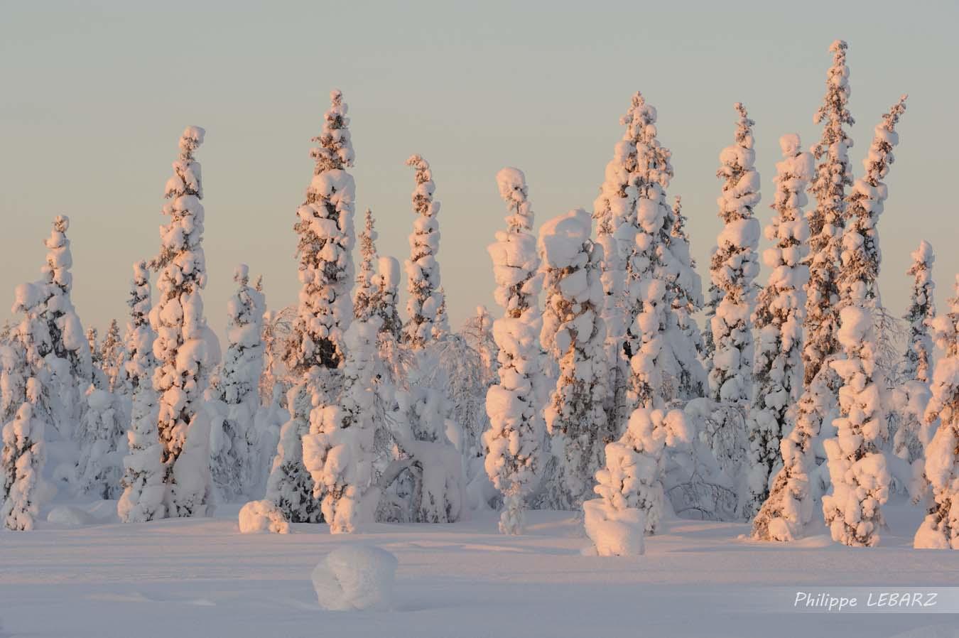 Foret de sapins recouverts de neige au soleil couchant